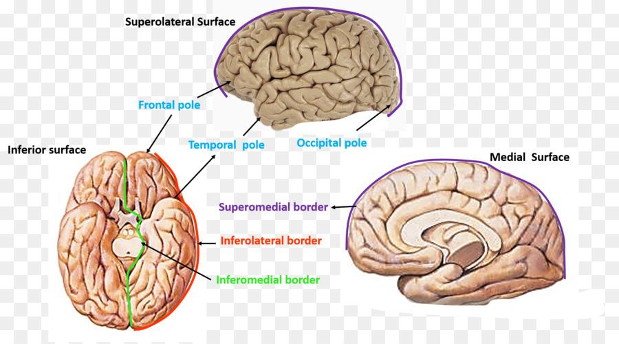 Brain Cerebrum Cerebral Hemisphere Occipital Lobe Frontal Lobe