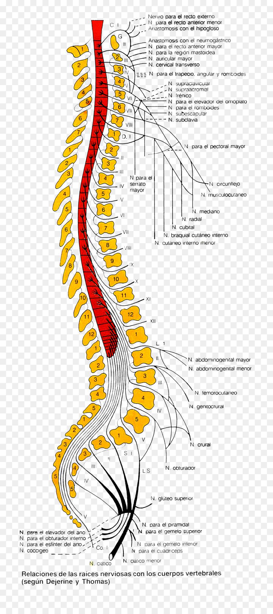 Los vertebrados de los Nervios de la columna Vertebral Anatomía ...