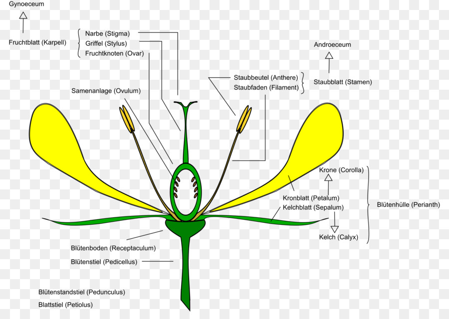 Flower anatomy diagram clip art daisy flower png download 2400 flower anatomy diagram clip art daisy flower ccuart Choice Image