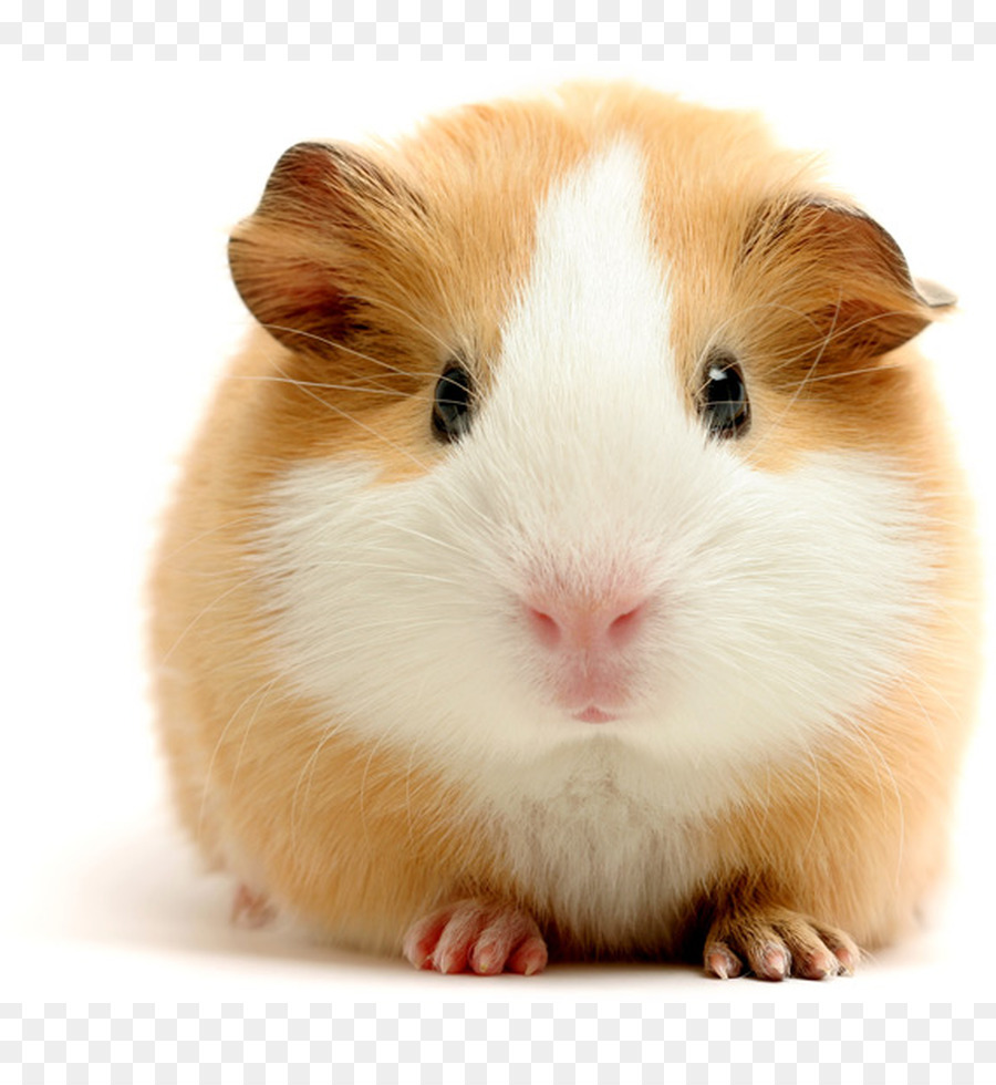 Guinea cerdo Vietnamita barrigón de Roedores Perro - conejillo de ...
