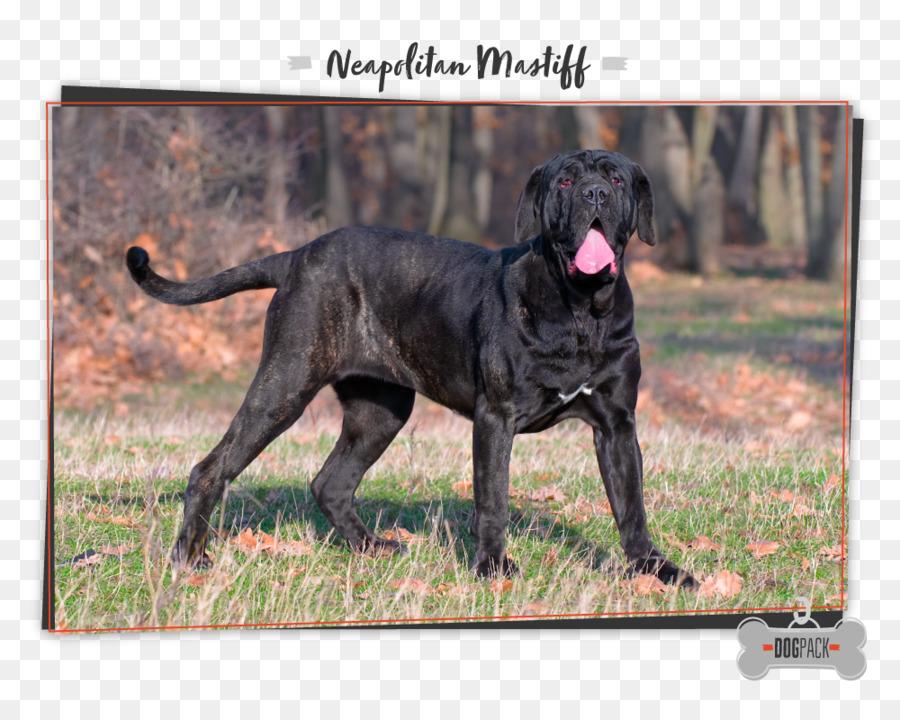 Neapolitan Mastiff English Mastiff Cane Corso Bulldog St Bernard