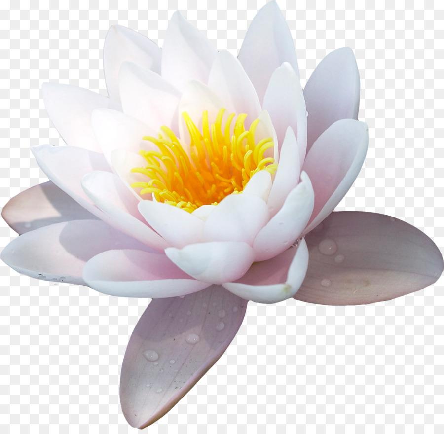 Water lily nelumbo nucifera flower symbol flower png download water lily nelumbo nucifera flower symbol flower izmirmasajfo
