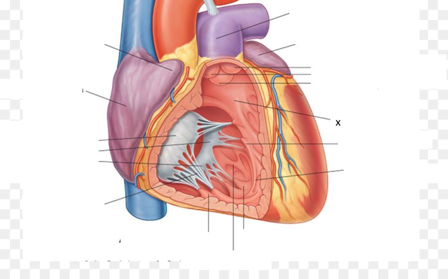 Anterior interventricular sulcus Posterior interventricular artery ...