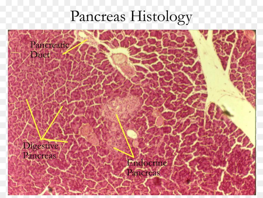 Exocrine Gland Pancreas Histology Endocrine Gland Endocrine System