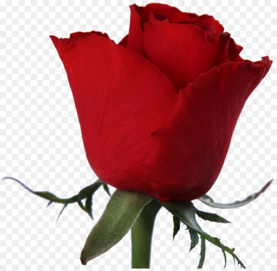 garten rosen schneiden, blumen stock fotografie - rose png