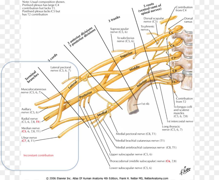 Atlas der Anatomie des Menschen Brachial plexus Anatomy Brachialis ...