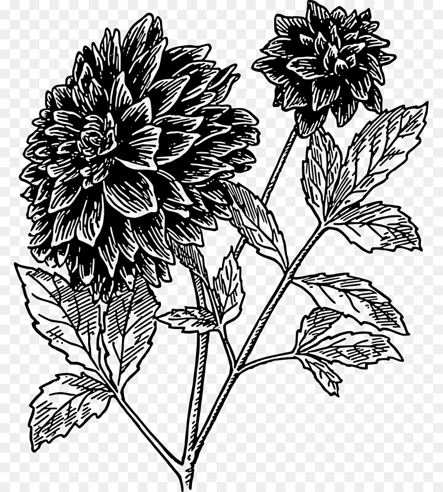 Dahlia Flower Drawing Clip Art Dahlia Png Download 8431000