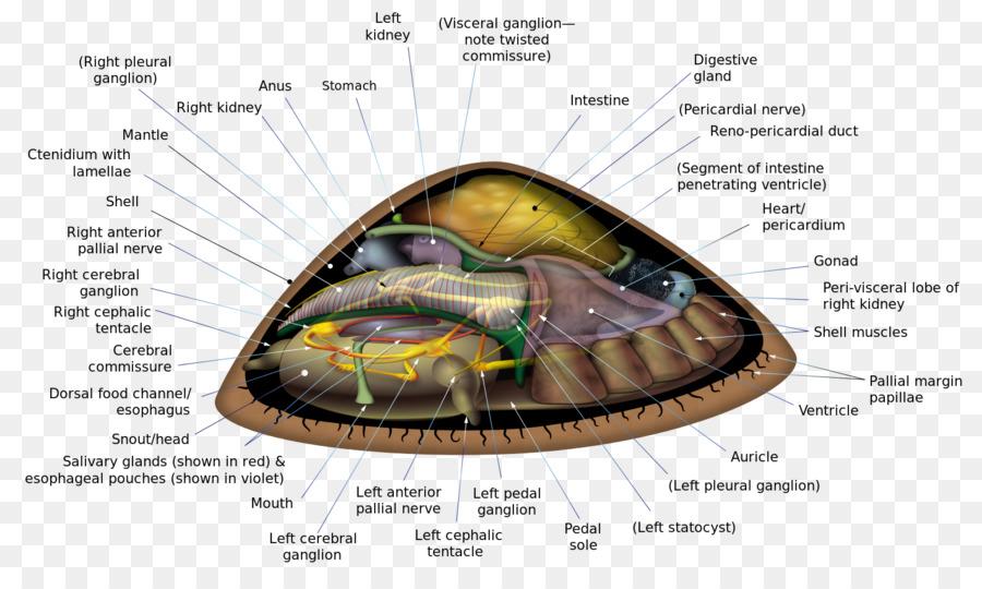 Sathyameva patellogastropo en secunda Lapa tortuga anatomía - las ...