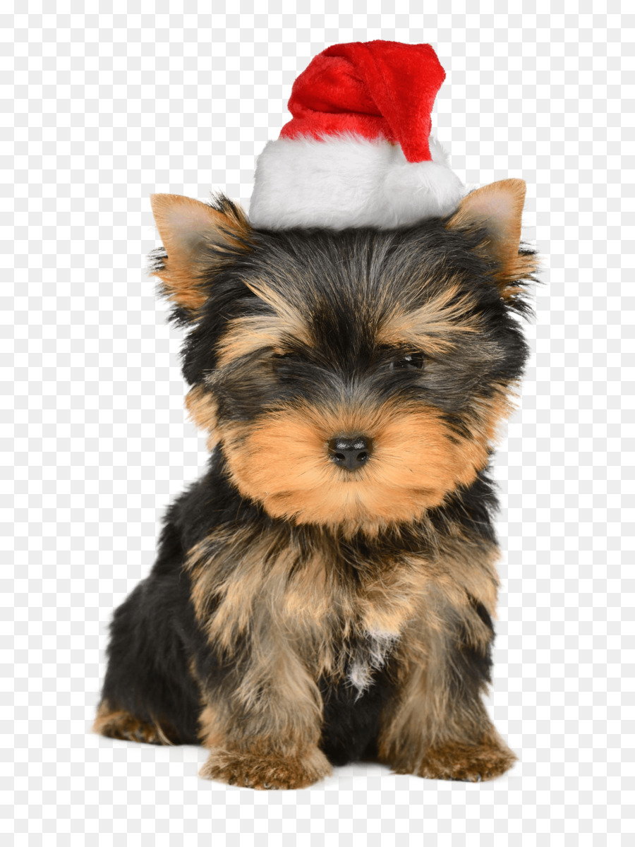 Yorkshire Terrier Puppy Santa Claus Christmas card - puppy png ...