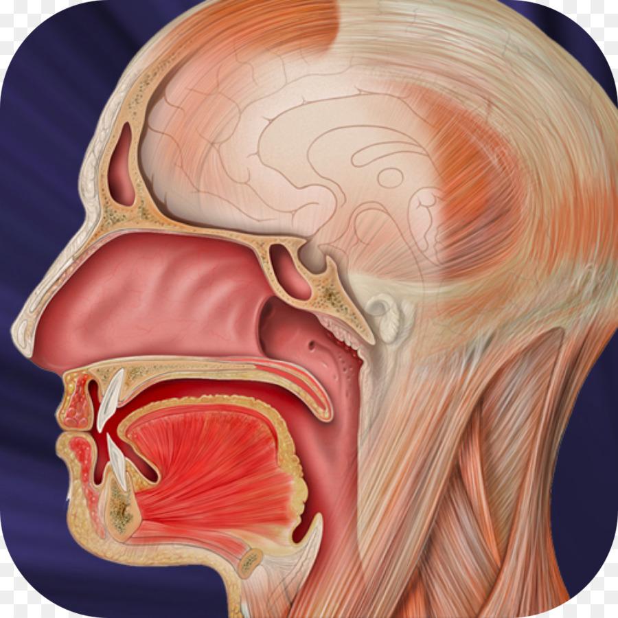 Boca humana plano Sagital de la Anatomía de la Lengua - cavidad oral ...
