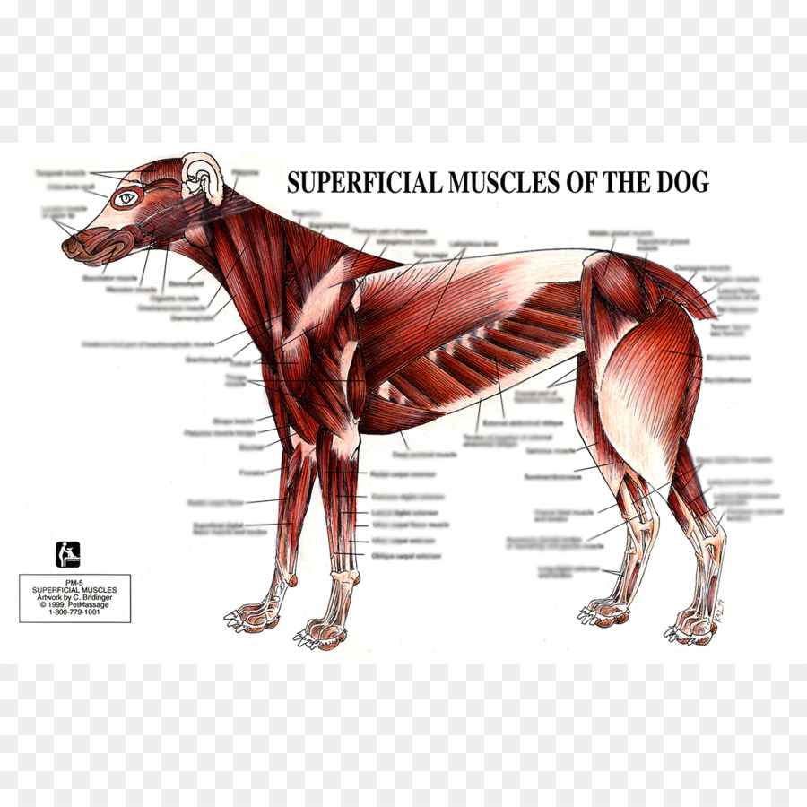 Dog anatomy Muscle Human body - Dog png download - 1224*1224 - Free ...