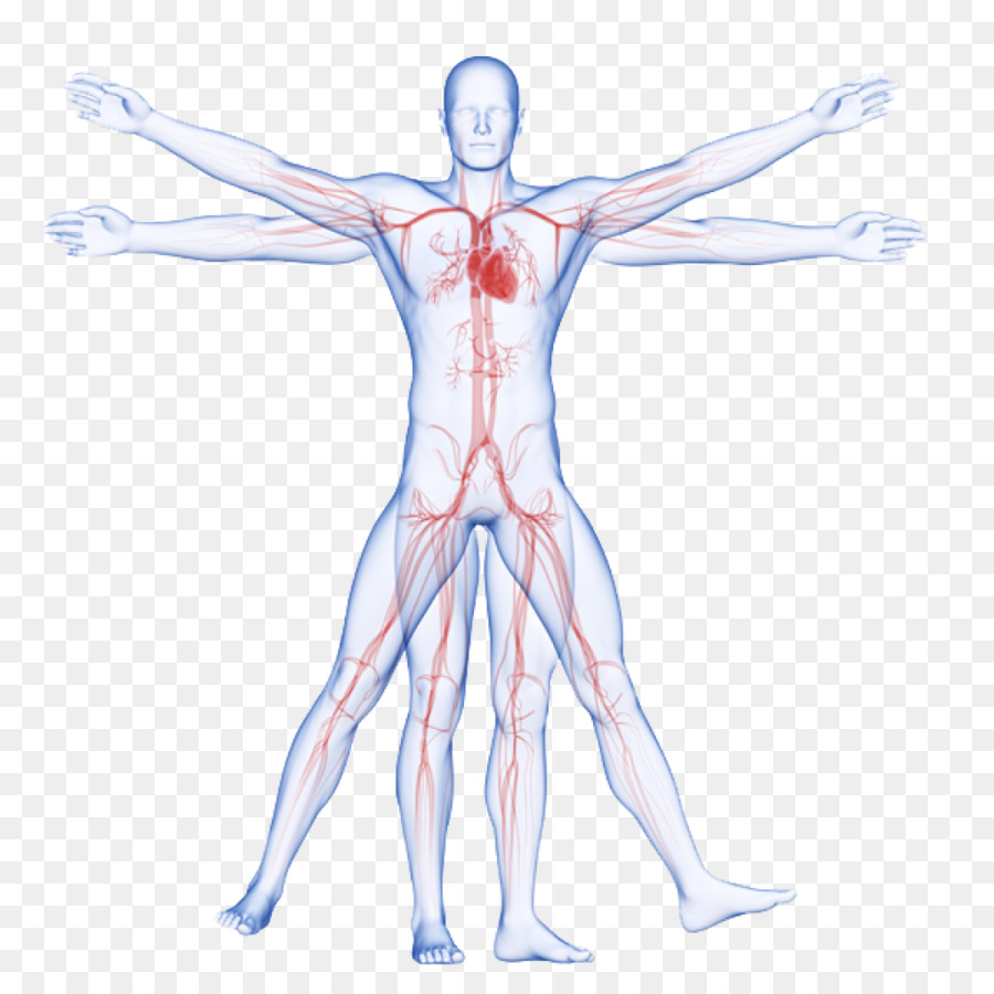Circulatory system Vitruvian Man Artery Human body Arm - veins png ...