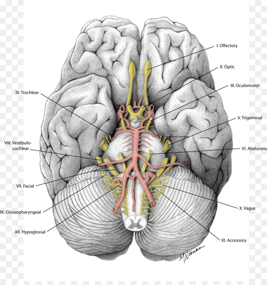 Brain Cranial nerves Gray\'s Anatomy - Brain png download - 1000*1052 ...
