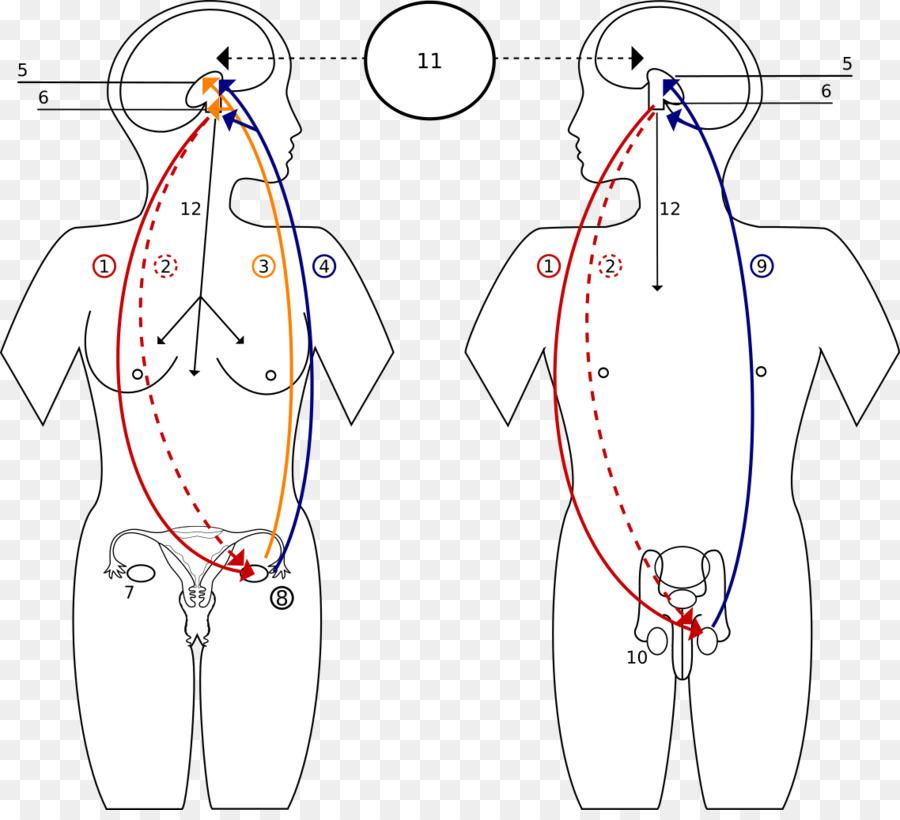 La hormona del sistema Endocrino la Función de sistema Reproductivo ...