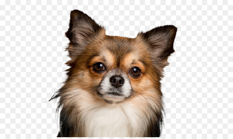 Chihuahua Puppy Pomeranian Veterinarian Dog Breed Puppy Png