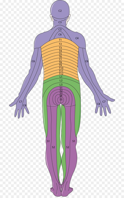 En el dermatoma de Neurología de la neuropatía Periférica Músculo ...