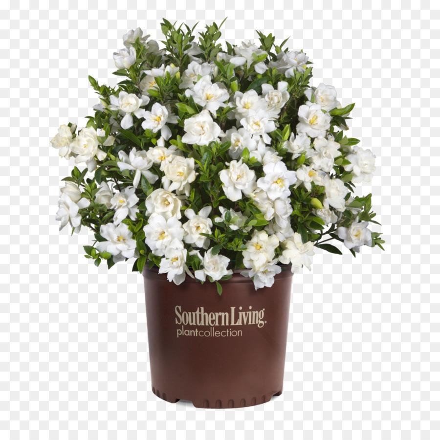 cap de jasmin arbuste fleur evergreen garden - national de la