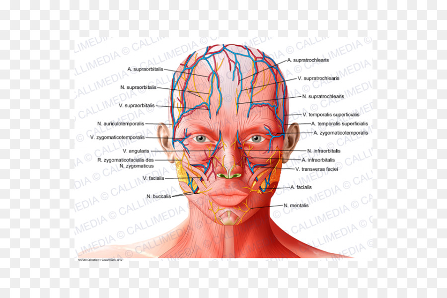 Forehead Anatomy Supratrochlear artery Supraorbital artery ...