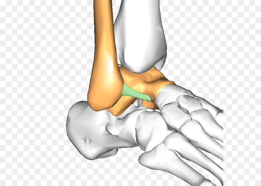 El pulgar de la Cadera Ligamento del Tobillo hueso Astrágalo - otros ...