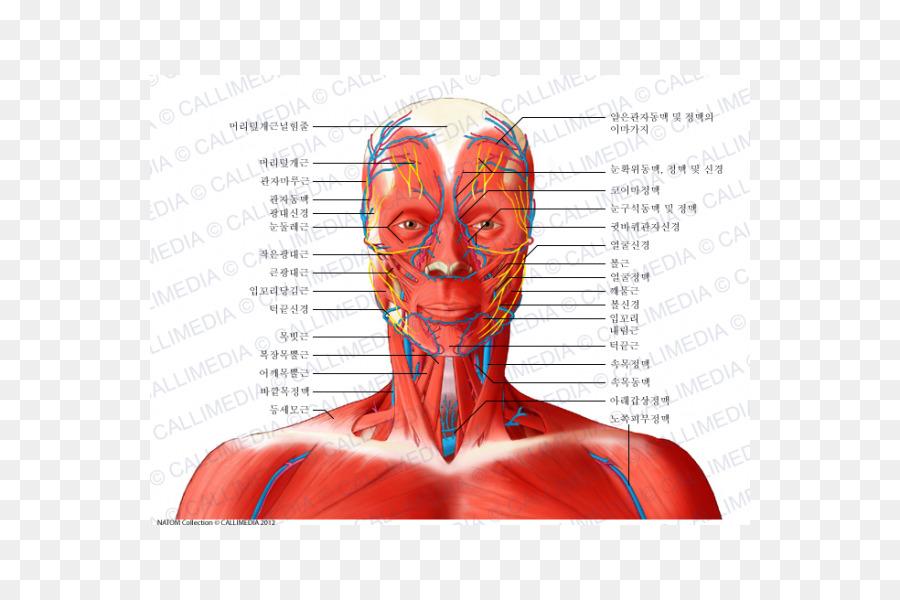 Temporoparietalis músculo de la Cabeza del Nervio y la anatomía del ...