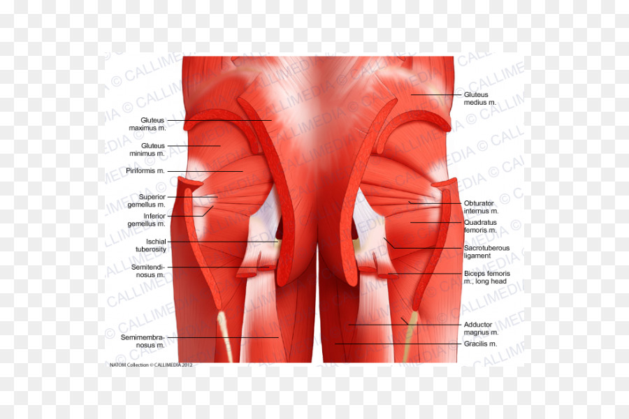 Pelvis Muscle Anatomy Muscular System Hip Others Png Download