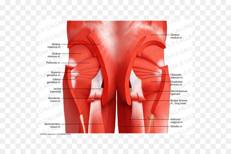 La Pelvis Músculos de la Anatomía del sistema Muscular de la Cadera ...