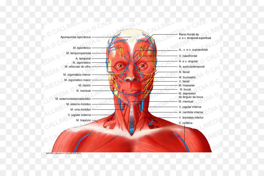 Sistema Muscular de los Nervios de los Músculos del Cuello anatomía ...