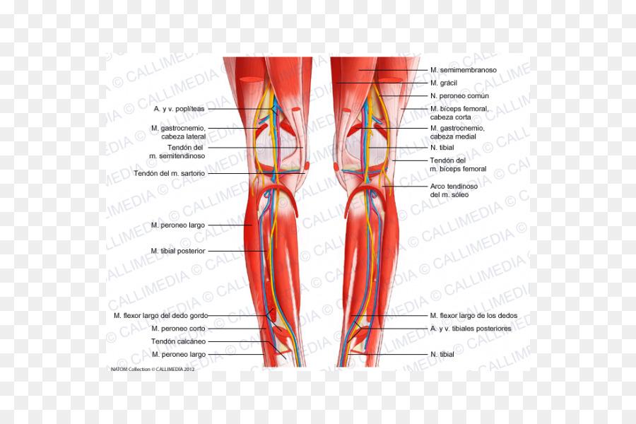 Rodilla Muscular sistema Muscular Peroné Crus - otros Formatos De ...