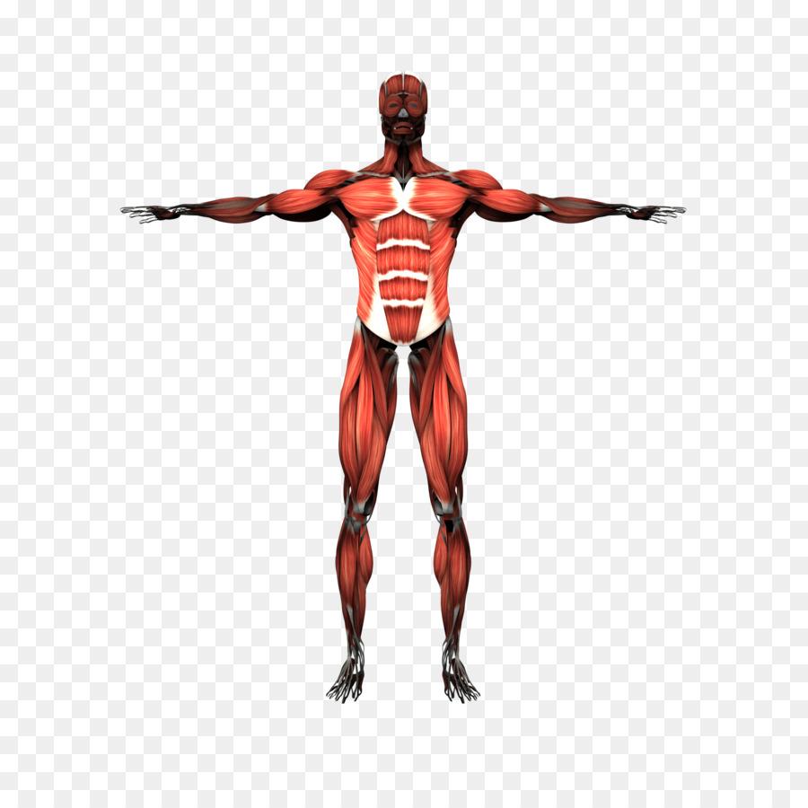 Sistema Muscular el músculo Esquelético cuerpo Humano, esqueleto ...