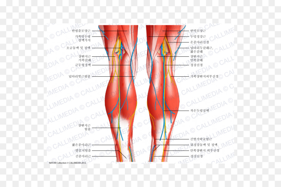 Knee Human Body Anatomy Tendon Patellar Ligament Others Png