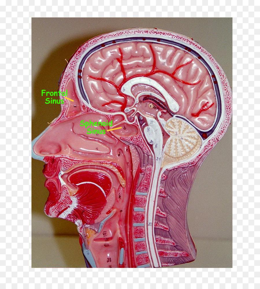 Cavidad Nasal, senos paranasales sistema Respiratorio Humano en la ...
