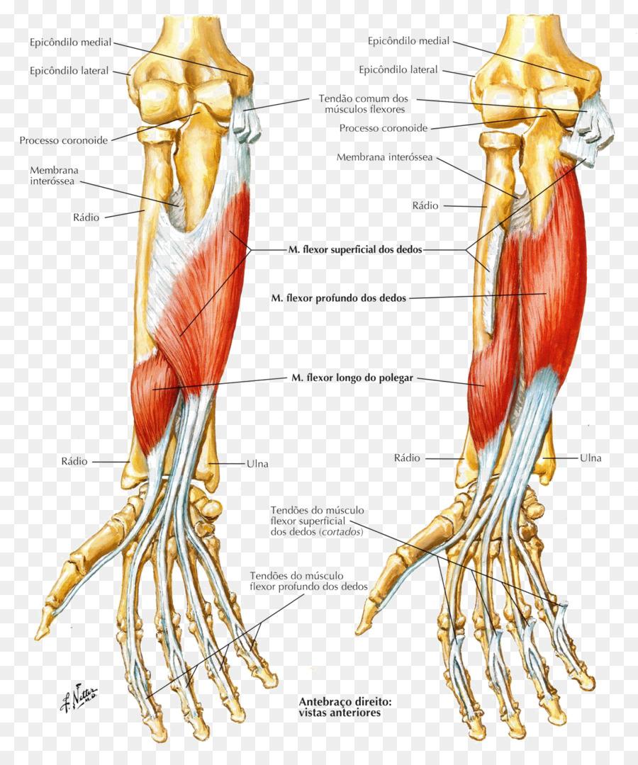 Flexor de los dedos pulgadas de profundidad del músculo Flexor del ...