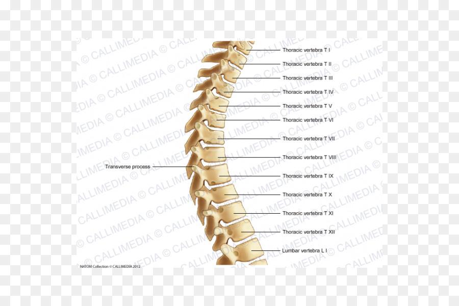 Vértebras torácicas Humanos de la columna vertebral, el Hueso Raquis ...