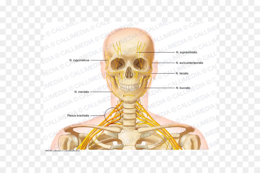 Cabeza y cuello anatomía de Cabeza y cuello anatomía Ósea de la ...