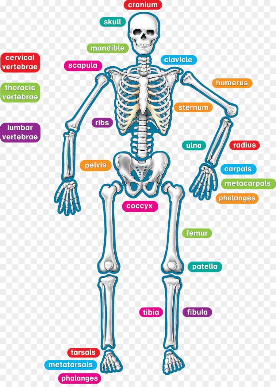 Esqueleto humano cuerpo Humano Profesor de Anatomía - los niños ...