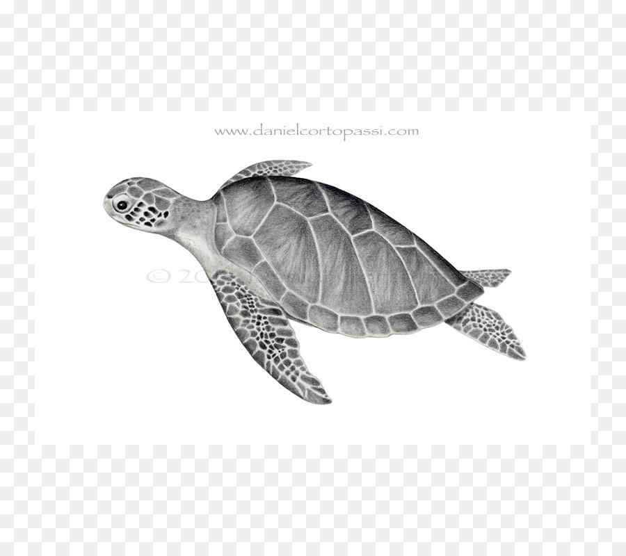 Deniz Kaplumbağası Emydidae Yeşil Deniz Kaplumbağası Kaplumbağa