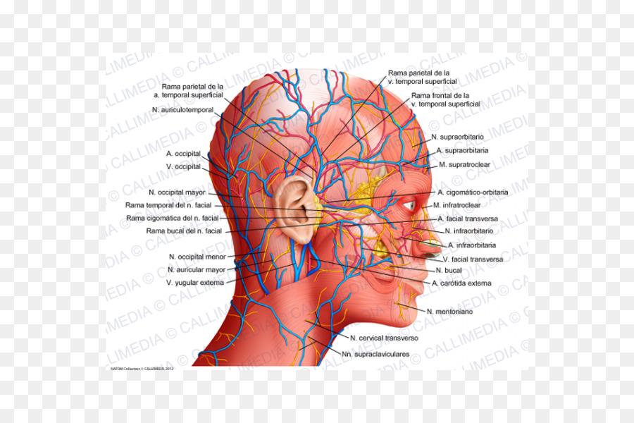 Anatomía humana, Fisiología del cuerpo Humano Cabeza - la ciencia ...