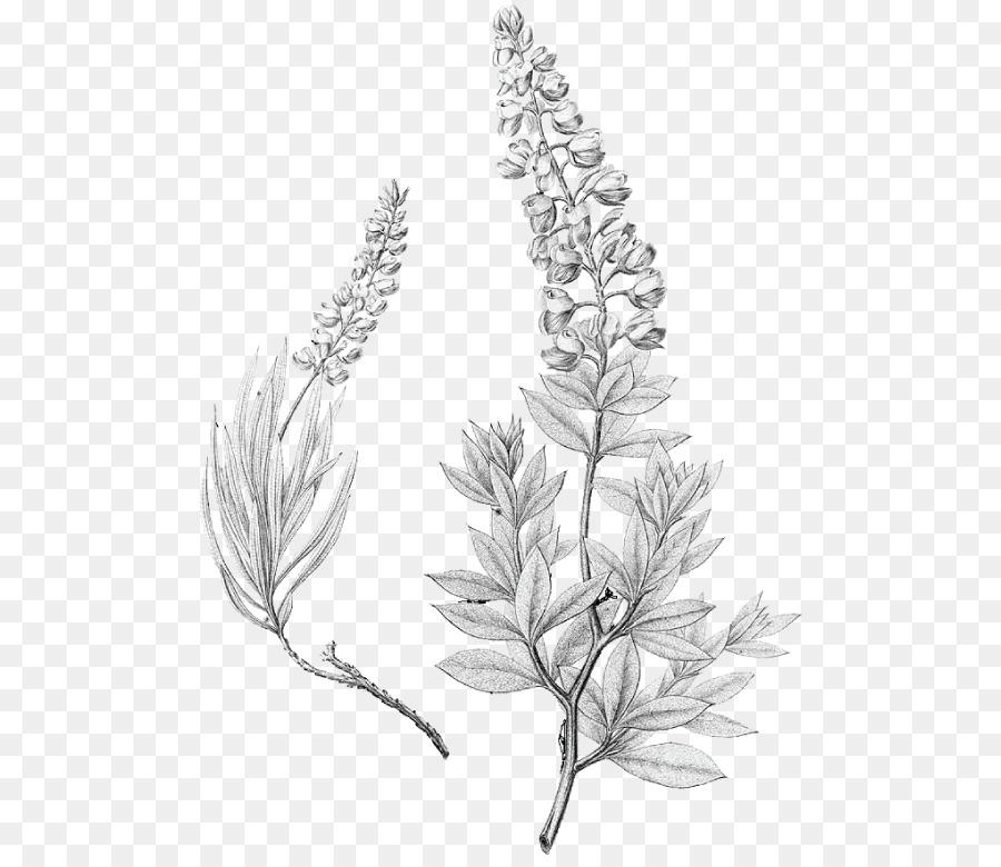 Lupinus texensis Bluebonnet Dibujo de Texas - otros Formatos De ...
