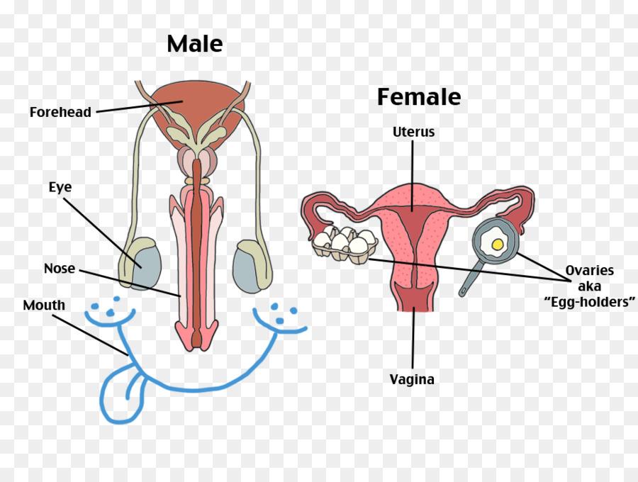 Sistema reproductor femenino sistema reproductor Humano cuerpo ...