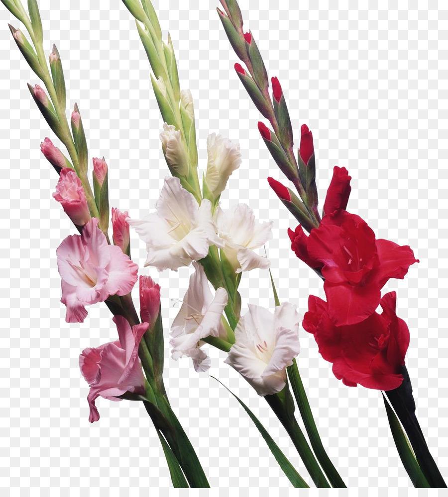 Gladiolus Bulb Cut Flowers Iridaceae Gladiolus Png Download 900