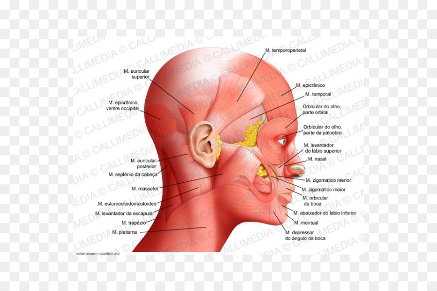 Atlas der Anatomie des Menschen Human anatomy Head Neck - Face png ...