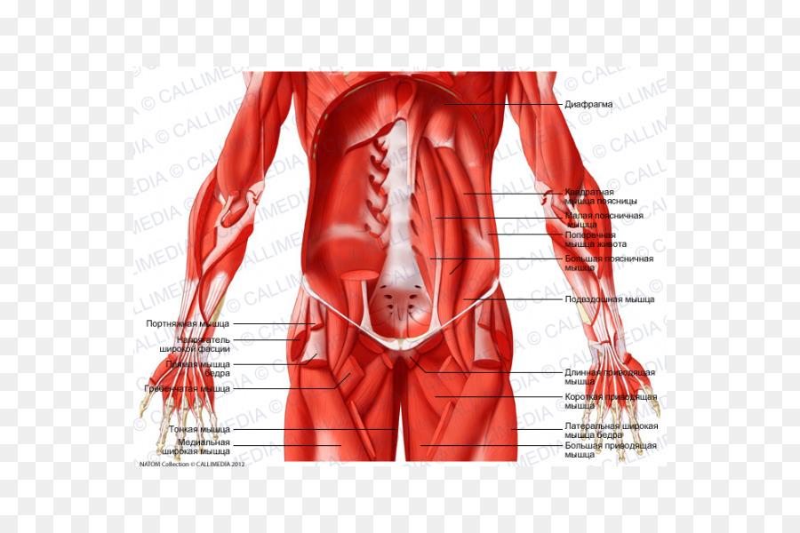 Cadera Abdomen canal Inguinal Nervio del Músculo - otros Formatos De ...