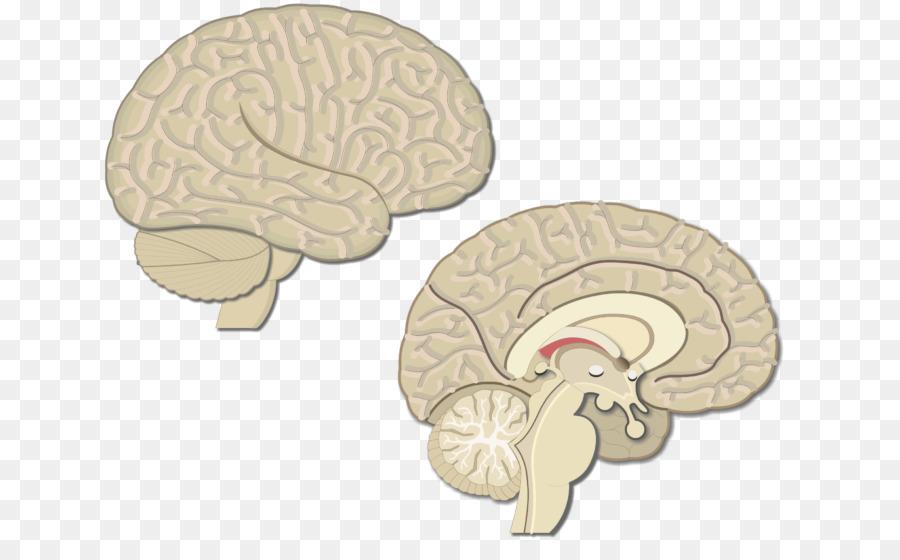 brain premotor cortex primary motor cortex visual cortex cerebral cortex brain