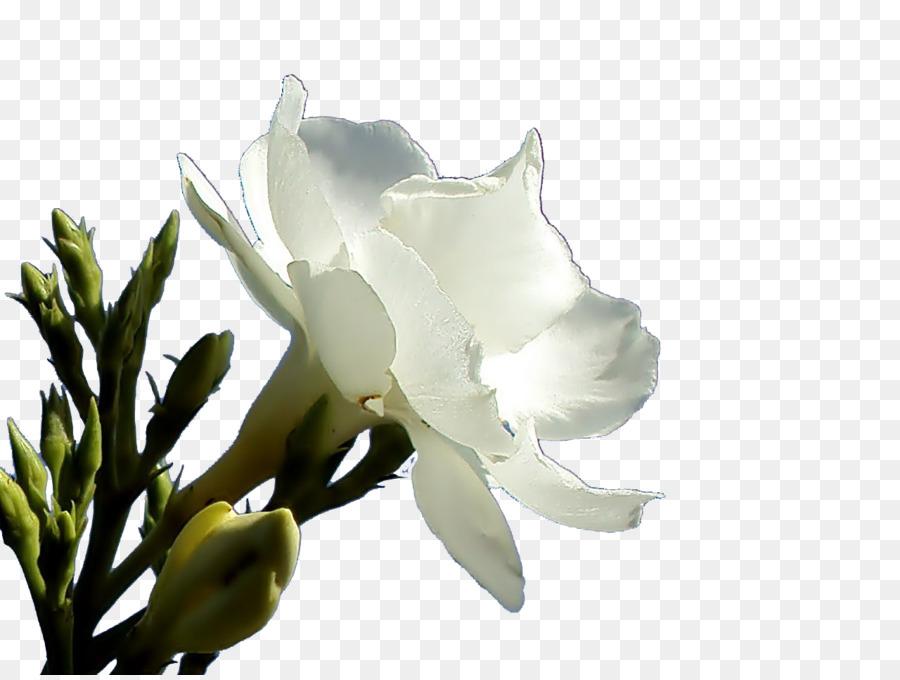 Oleander petal flower flower png download 1280960 free oleander petal flower flower mightylinksfo