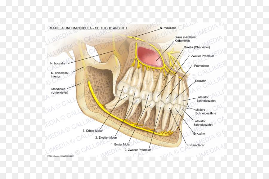 Mandibular nerve Maxilla Mandible Alaleuanluu - others png download ...