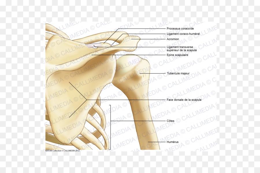Pulgar Hombro Hueso De La Anatomía Muscular - otros Formatos De ...