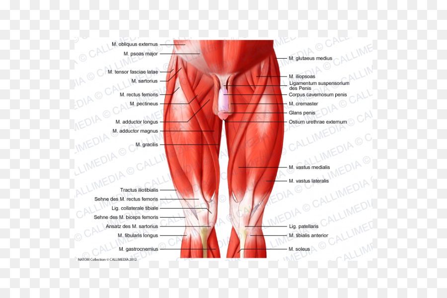 Muscles Of The Hip Knee Muscular System Human Body Others Png
