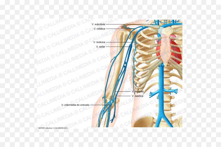 La vena yugular Humanos de la anatomía del sistema Circulatorio ...
