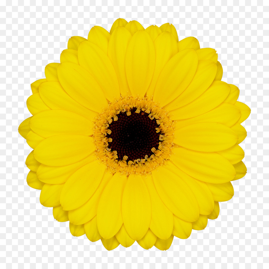 Transvaal Daisy Floristry Cut Flowers Sailor Wholesale Others Png