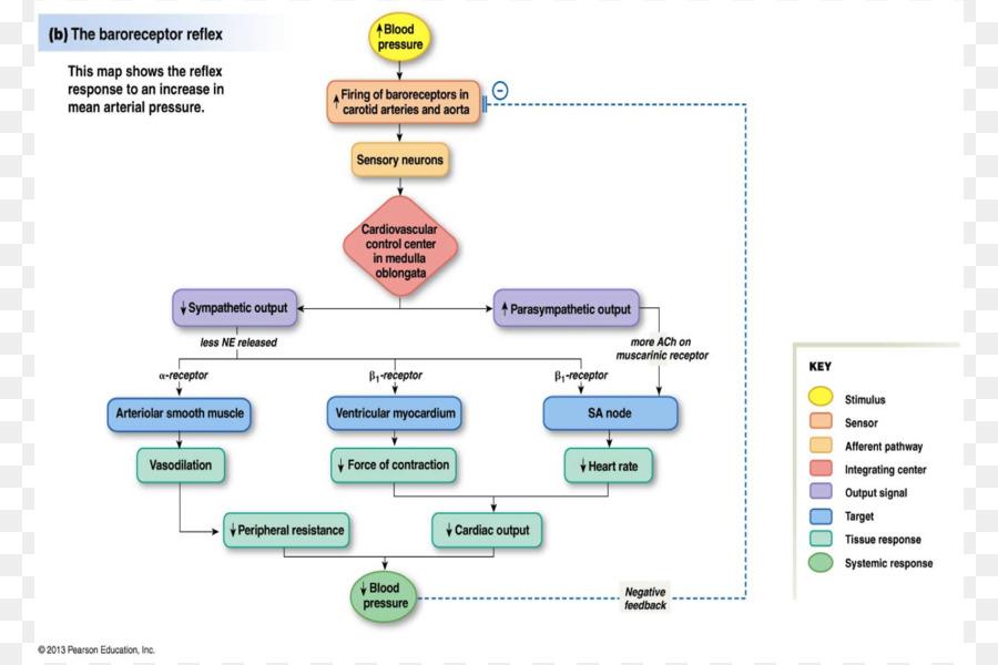Barorreceptores de la presión Arterial Baroreflex la Hipertensión ...